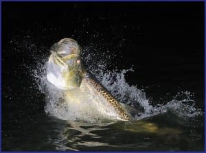 Tarpon fishing guide client with massive Tarpon at night