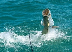 tarpon fighting angler in Tampa Florida