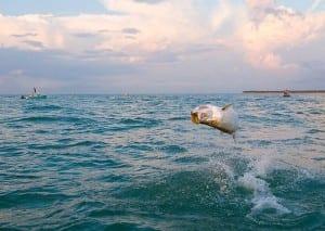 Huge tarpon leaping upside down on Tampa Tarpon Charter trip