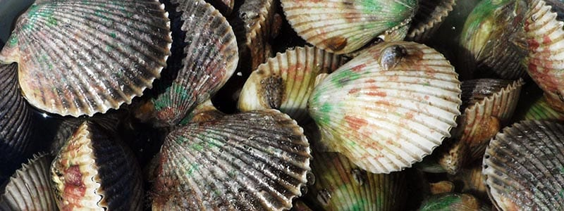 Homosassa scalloping charters guide captain scallop load from trip