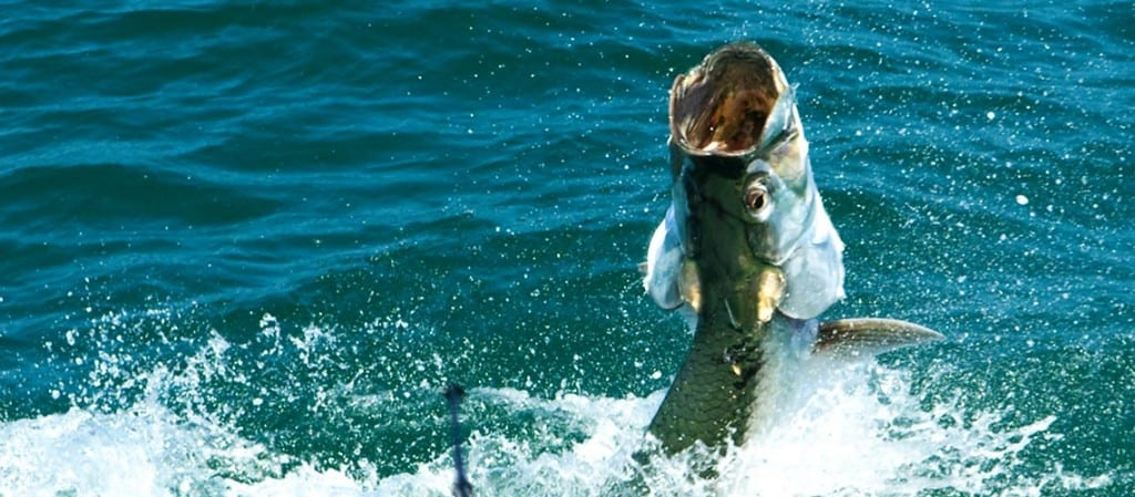 Tampa Tarpon Fishing Guide with jumping tarpon