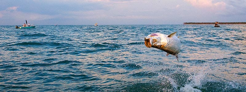 Tampa Tarpon fishing charters guide captain with leaping tarpon hooked up